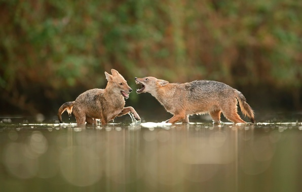 Picture fight, in the water, jackals