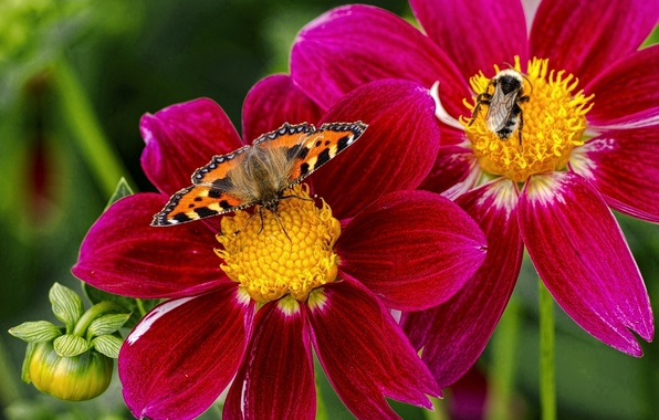 Picture macro, flowers, insects, butterfly, bumblebee, dahlias, urticaria
