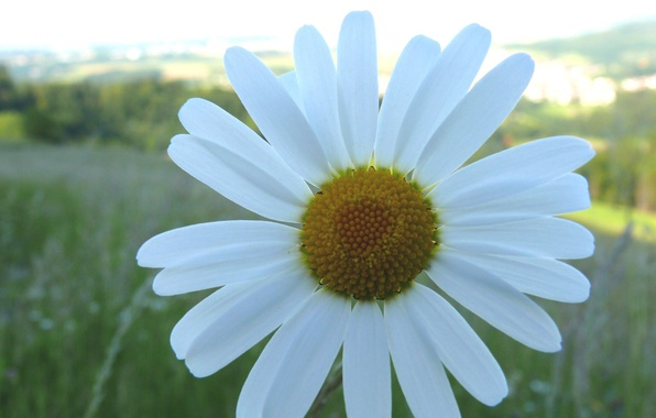 Picture summer, one, Daisy