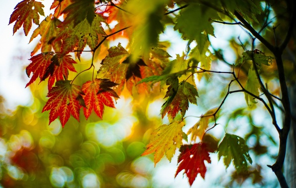 Picture autumn, leaves, macro, trees, branches, red, green, background, tree, widescreen, Wallpaper, blur, wallpaper, leaves, widescreen, …