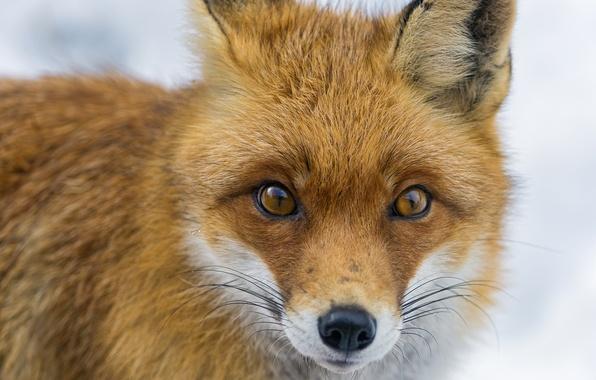 Picture look, face, Fox, Fox, ©Tambako The Jaguar