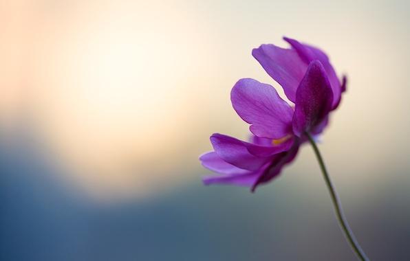 Picture flower, purple, gentle, petals, stem, flower, blue, bokeh, petals, violet, tender, boke