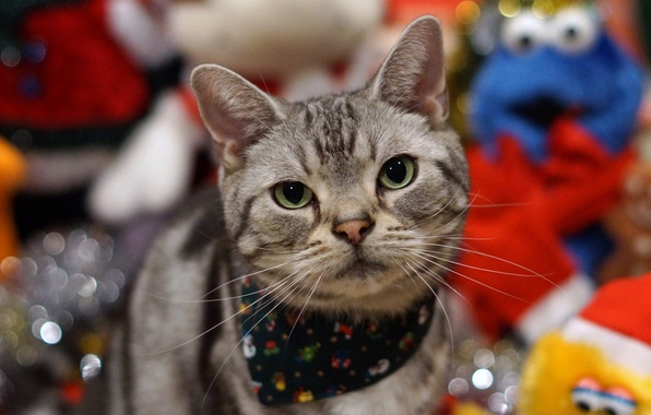Picture cat, holiday, Koshak, Tomcat