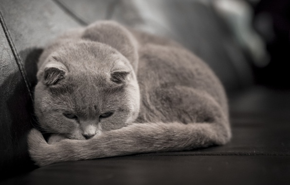 Picture cat, grey, lies, looks