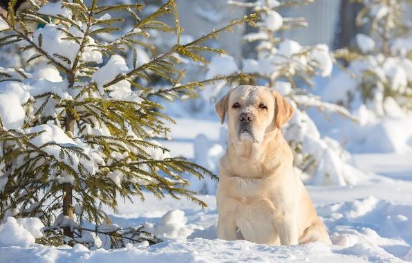 Picture winter, snow, dog, tree, dog, Labrador Retriever