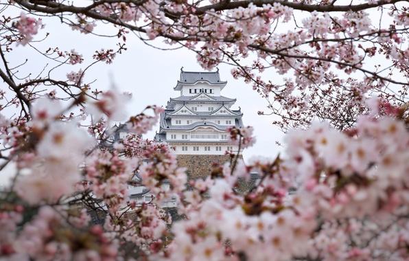 Picture trees, flowers, branches, color, spring, Japan, Sakura, castle of the white Heron, Himeji castle, Himeji