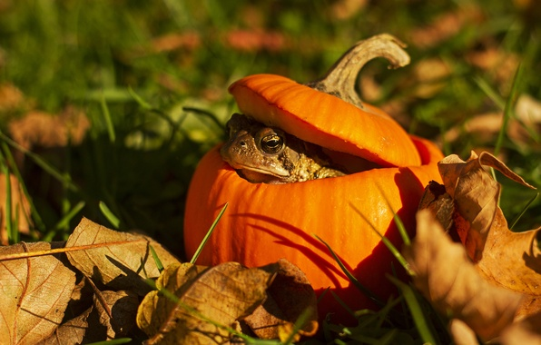 Picture grass, eyes, leaves, pumpkin, toad, bokeh