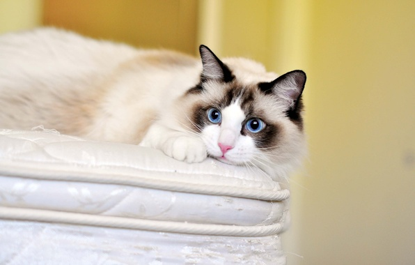 Picture cat, cat, look, blue eyes, ragdoll