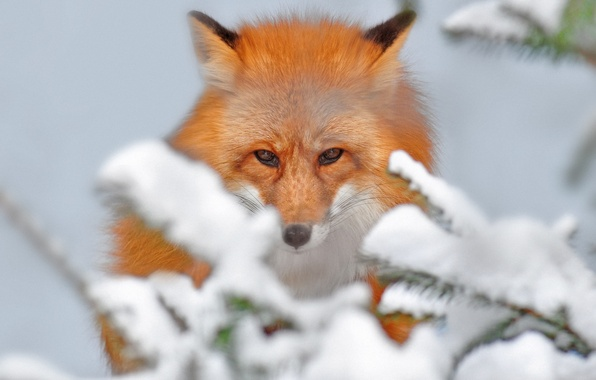Picture snow, branches, nature, beauty, Fox