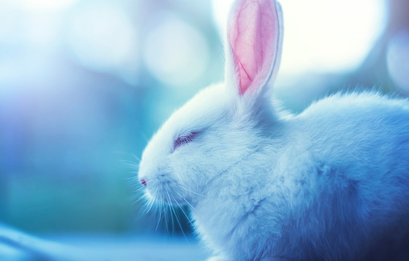 Picture white, Rabbit, muzzle, sleeping, profile, Bunny