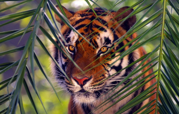Picture animals, tiger, branch, Bengal Tiger