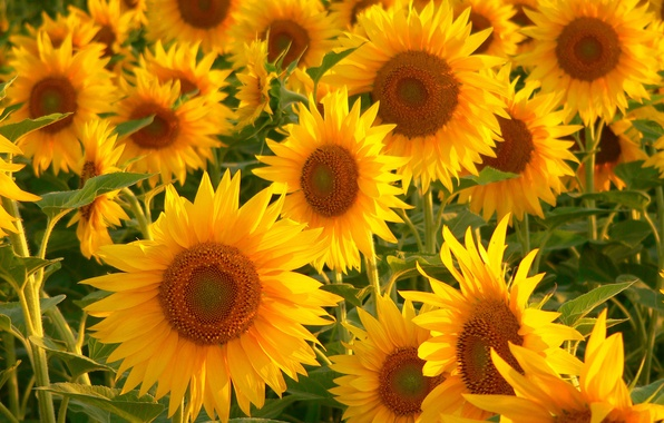Picture greens, sunflowers, flowers, a lot, yellow