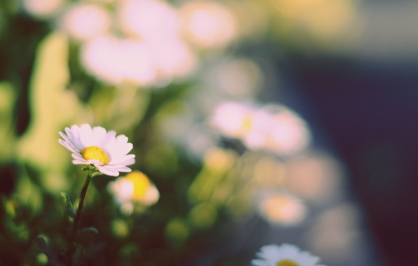 Picture greens, white, flowers, yellow, background, widescreen, Wallpaper, Daisy, wallpaper, widescreen, background, full screen, HD wallpapers, …