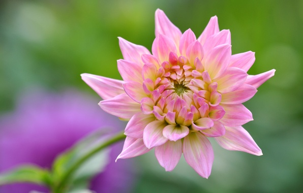 Picture petals, Dahlia, bokeh