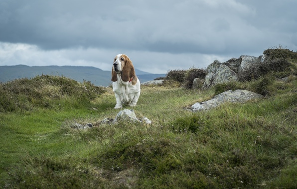 Picture the sky, grass, clouds, stones, dog, national Park, Wales, The Basset hound, Snowdonia, mount Snowdon