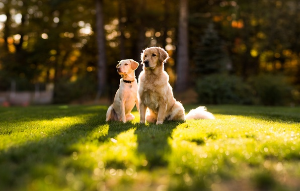 Picture dogs, summer, grass, pair, dog