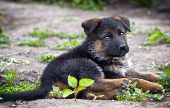 Picture each, dog, German shepherd