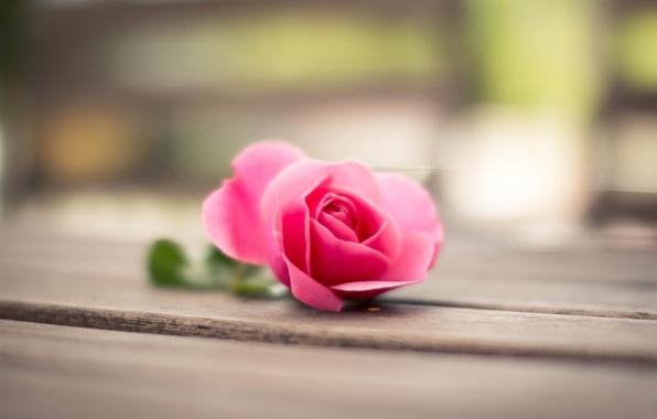 Picture flower, macro, pink, Rose, petals, bokeh