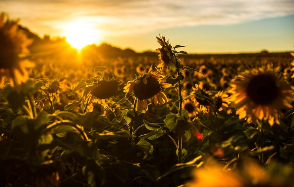 Picture summer, sunflowers, nature