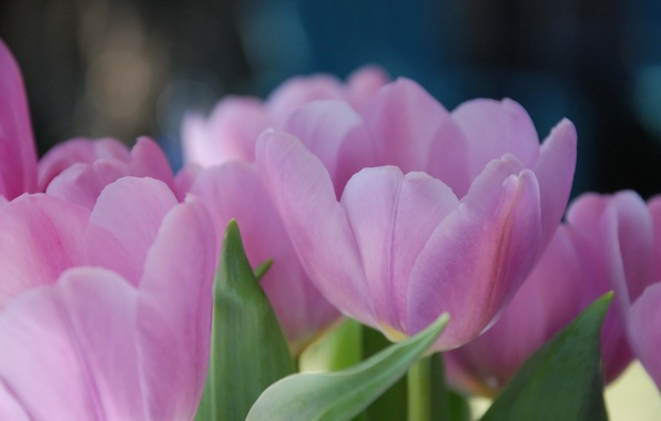 Picture macro, flowers, Tulip, spring, tulips, petals. pink