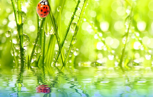 Picture the sky, grass, water, drops, Rosa, reflection, ladybug, insect