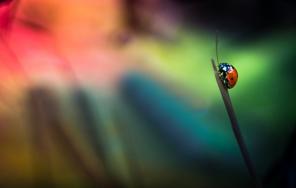 Picture background, ladybug, insect, a blade of grass
