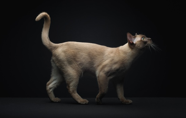 Picture cat, tail, Siamese