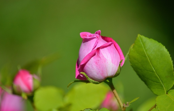 Picture leaves, macro, rose, petals, Bud