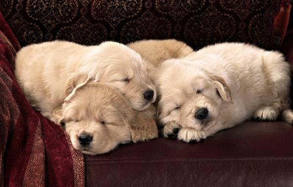 Picture sofa, leather, puppies, Labrador, Sony, sleep, breed, textiles