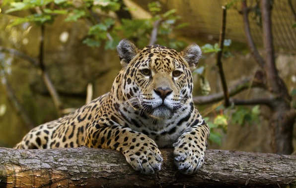 Picture face, stay, predator, paws, Jaguar, wild cat, zoo