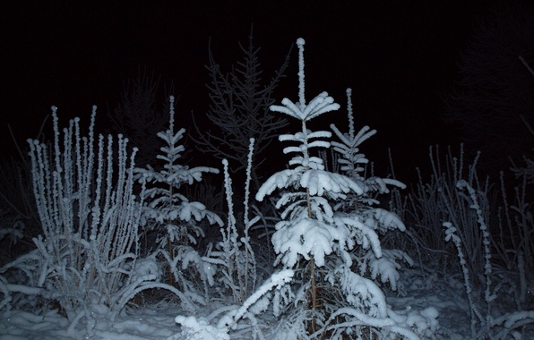 Picture winter, forest, light, snow, night, spruce