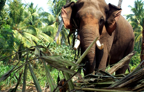 Kerala Elephant Wallpaper Hd Wallpaper elepha...