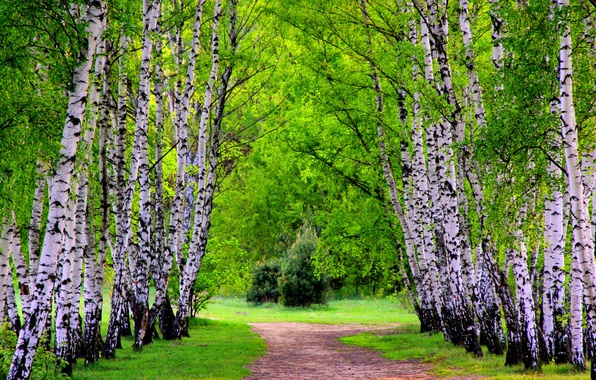 Picture FOREST, GRASS, GREENS, TRAIL, SPRING, TREES, ALLEY, BIRCH