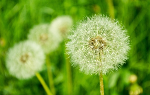 Picture flowers, dandelion, spring