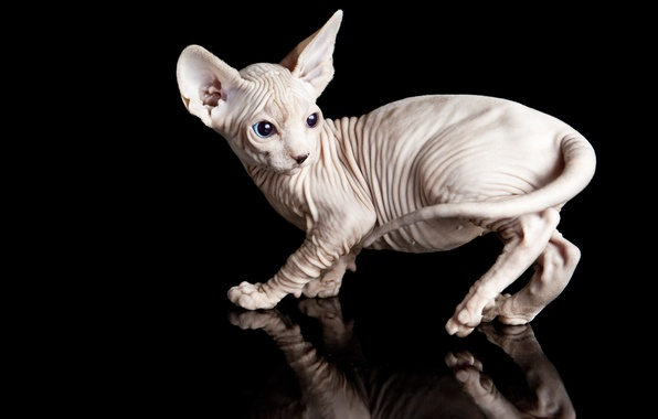 Picture cat, animals, cat, reflection, kitty, black background, Sphinx, Wallpaper from lolita777
