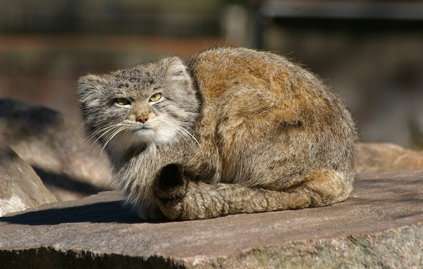 Picture predator, wild cat, manul, the Pallas cat