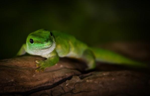Picture macro, green, tree, lizard, Madagascar day gecko, day Gecko Madagascar