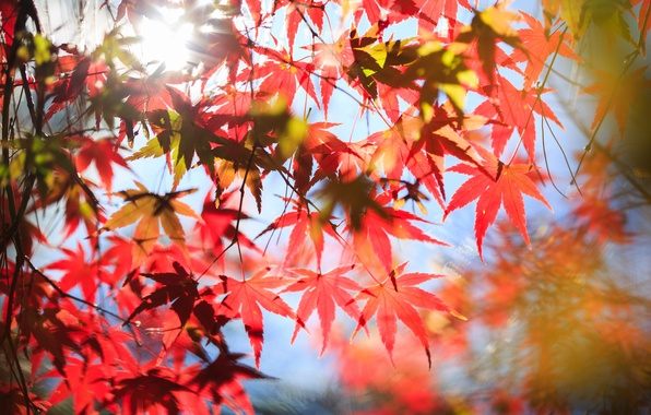 Picture autumn, leaves, tree, red, maple, crown