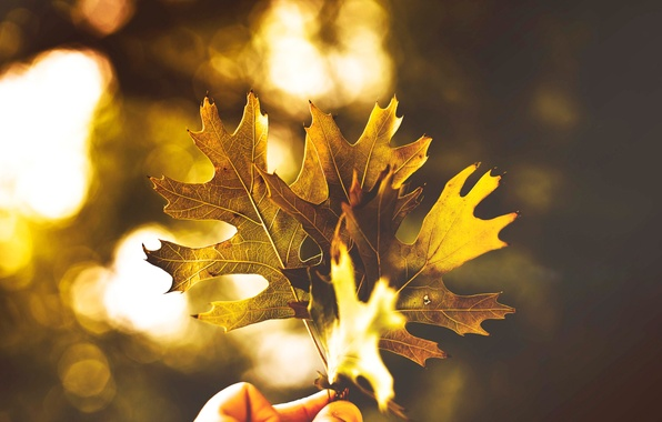 Picture autumn, light, foliage, color, three, Leaves, time of the year, Golden autumn, in the hand