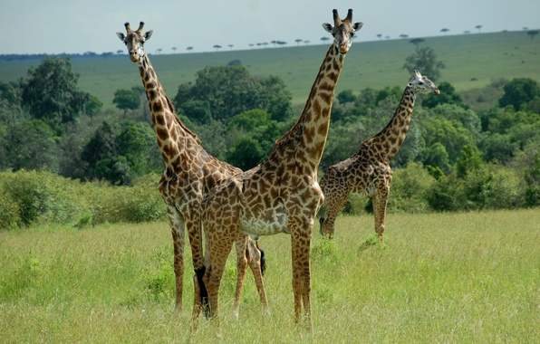 Picture animals, pair, giraffes