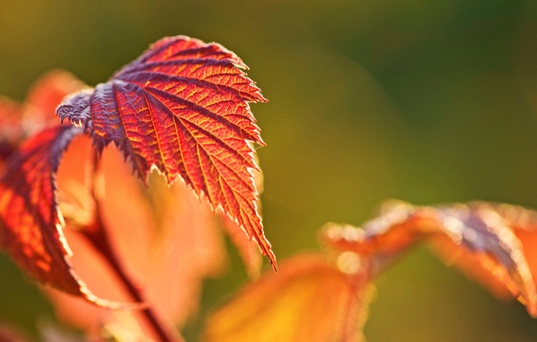 Picture autumn, macro, background, widescreen, Wallpaper, blur, leaf, wallpaper, leaf, widescreen, background, autumn, macro, bokeh, full …