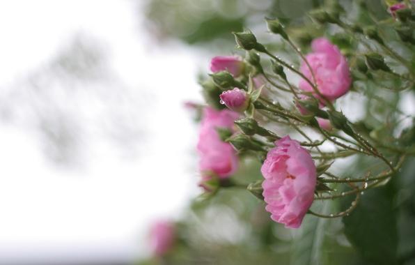Picture greens, leaves, water, drops, macro, flowers, nature, rain, Bush, roses, petals, blur, pink