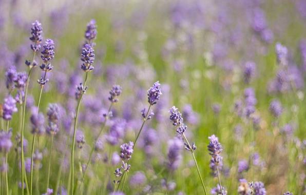 Picture greens, field, grass, light, flowers, nature, heat, glade, plants, purple, lavender, lilac