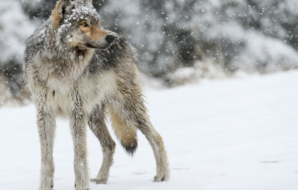 Picture snow, grey, wolf, predator, looks