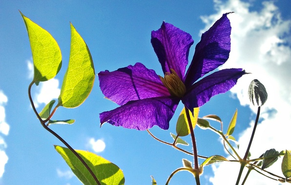 Picture flower, the sky, leaves, petals, clematis