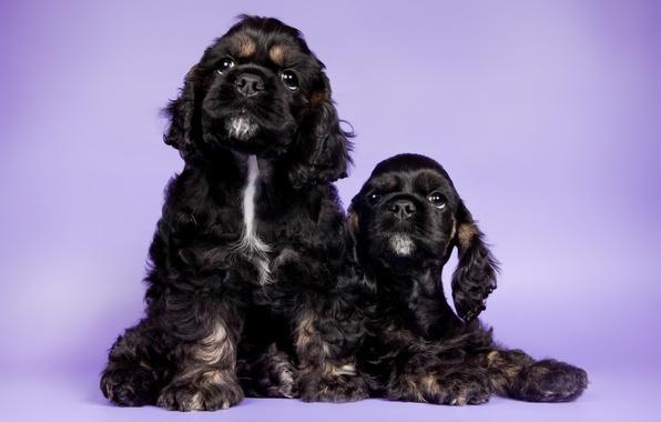Wallpaper puppies duo cocker spaniels images for desktop - Free cocker spaniel screensavers ...