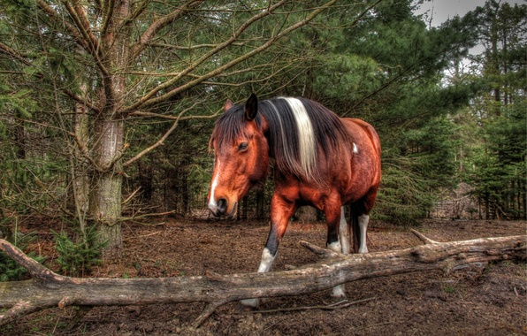 Picture forest, face, horse, horse, mane