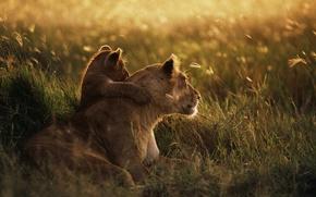 Wallpaper grass, glade, Lioness, family, lion