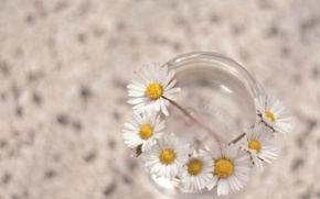 Picture white, macro, flowers, background, Wallpaper, chamomile, flowers, widescreen, full screen, HD wallpapers