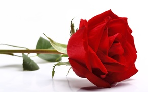 Picture rose, red, rose, flower